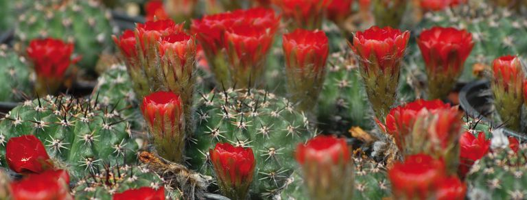 Cactus y suculentas. En primavera también necesitan cuidados