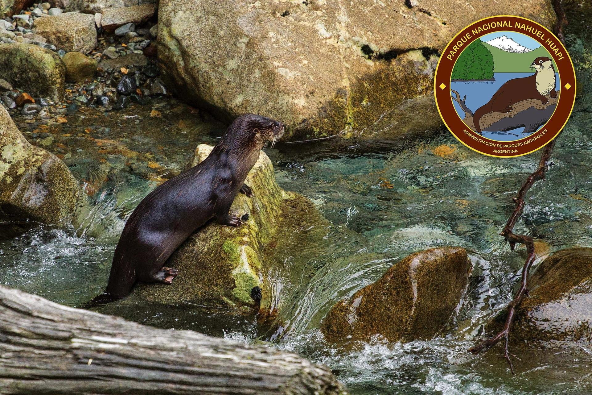 El Huillín es una nutria patagónica de pelo aterciopelado que aparece en el logo del PN Nahuel Huapi.