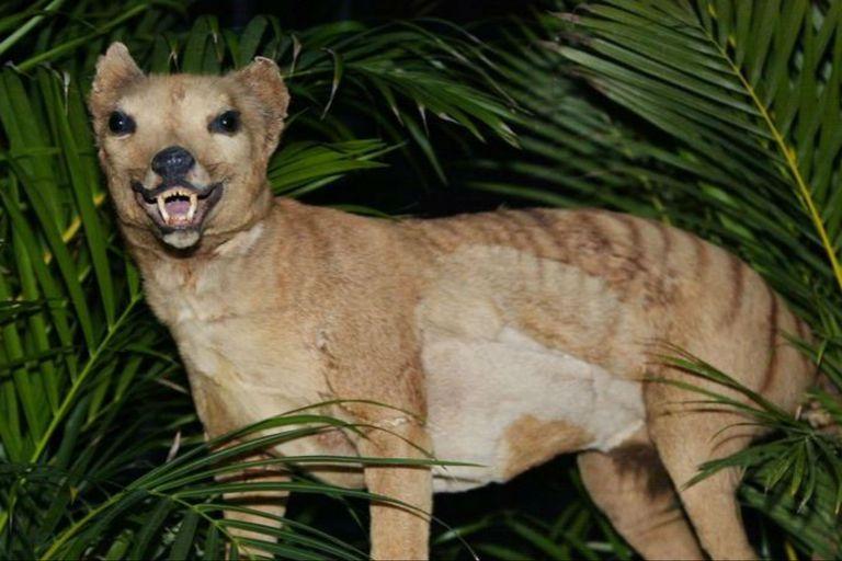 El tigre de Tasmania se extinguió en 1936