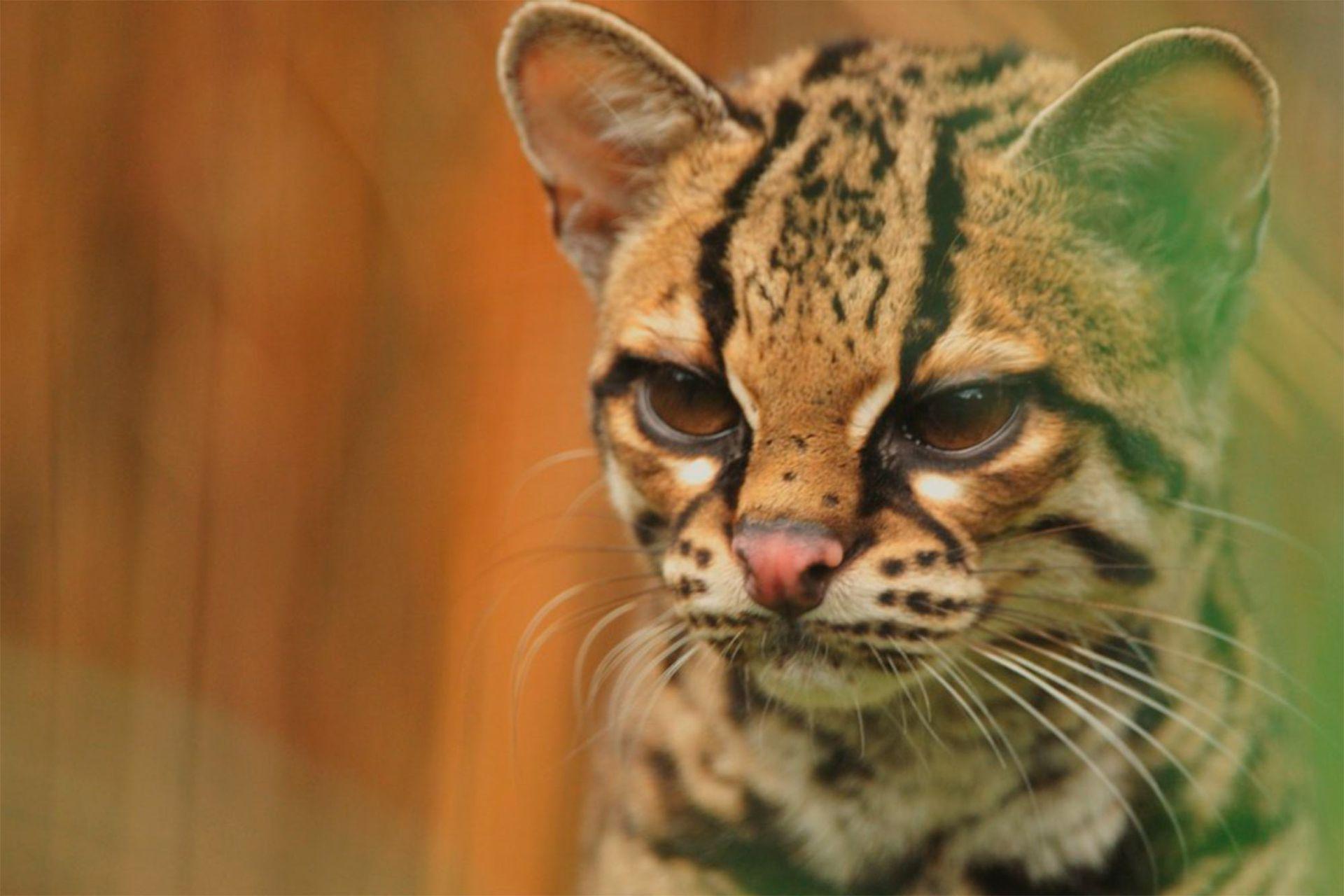 El Margay, también conocido como Gato Tigre o Tigrillo Peludo.