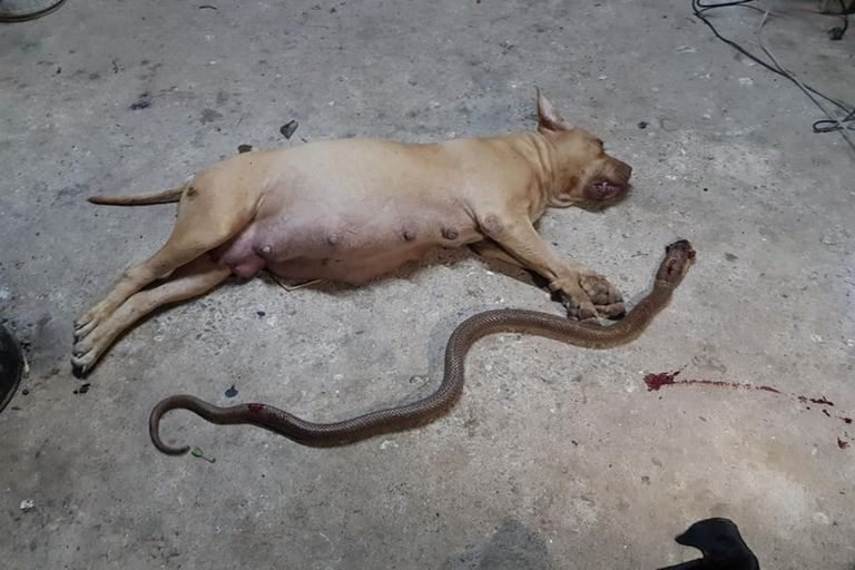 Una perra embarazada murió al defender a sus dueños de una serpiente venenosa