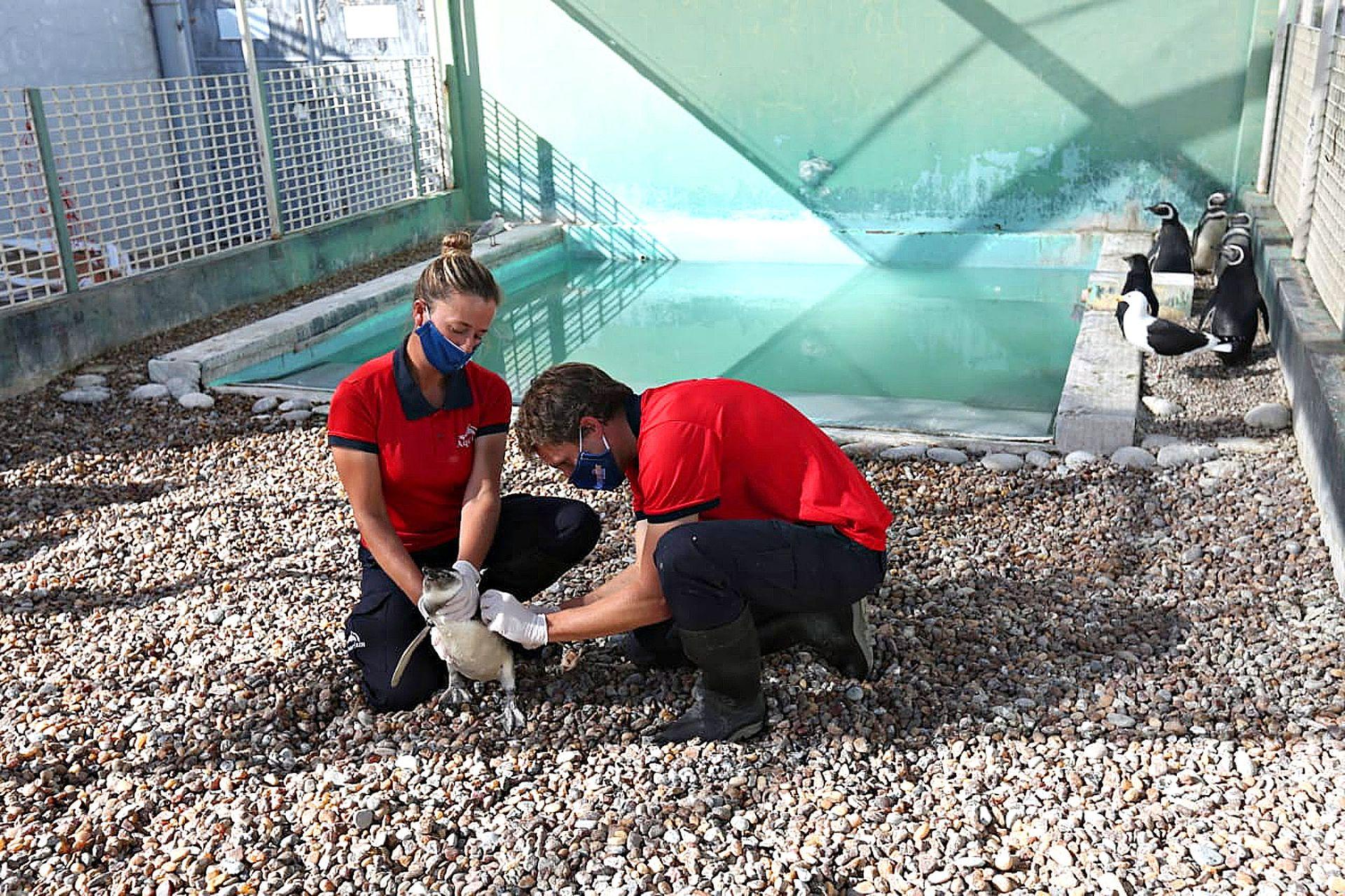 Los veterinarios del CRFM preparan a los pingüinos para su regreso al mar
