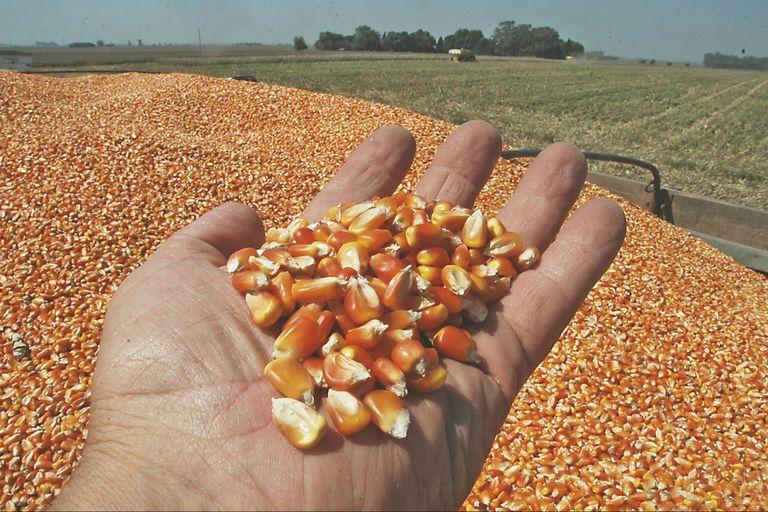 La puja entre la exportación y el uso interno es eje de conflicto en el cuarto proveedor mundial de maíz