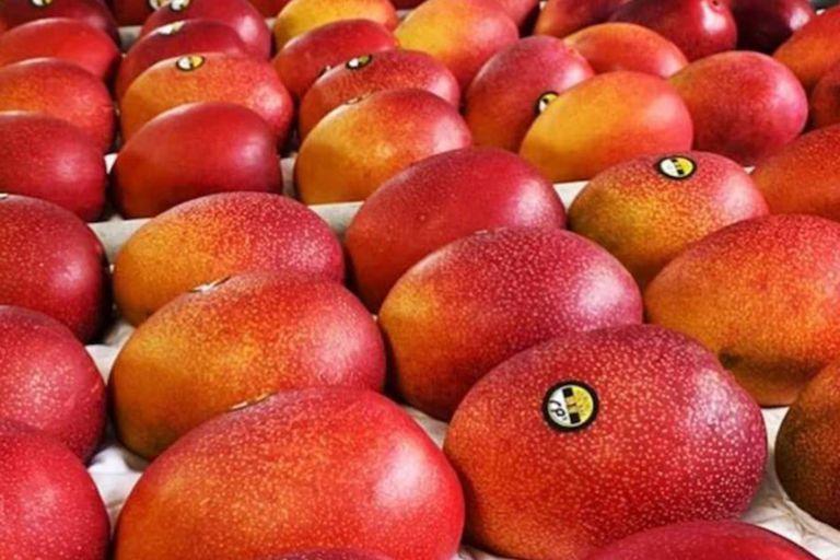 Los mangos Miyazaki, color rojo rubí, son mucho más dulces que los mangos convencionales y tardan más en crecer, por lo que su cotización es más alta que la de cualquier otra especie