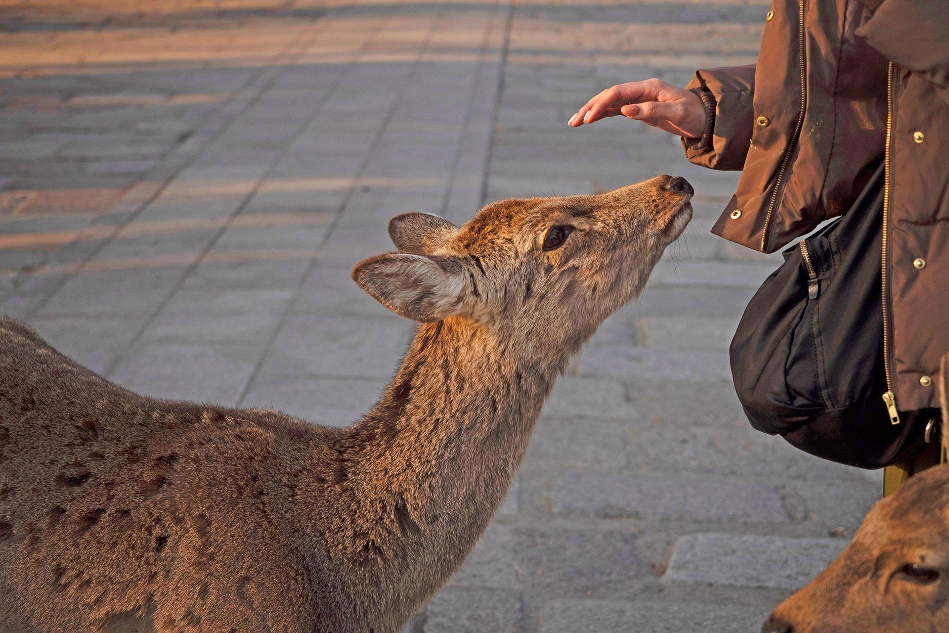 """En Nara se pueden comprar """"Galletas para ciervos"""" que los turistas les dan a los ciervos, hechas con harina de trigo y sin azúcar"""