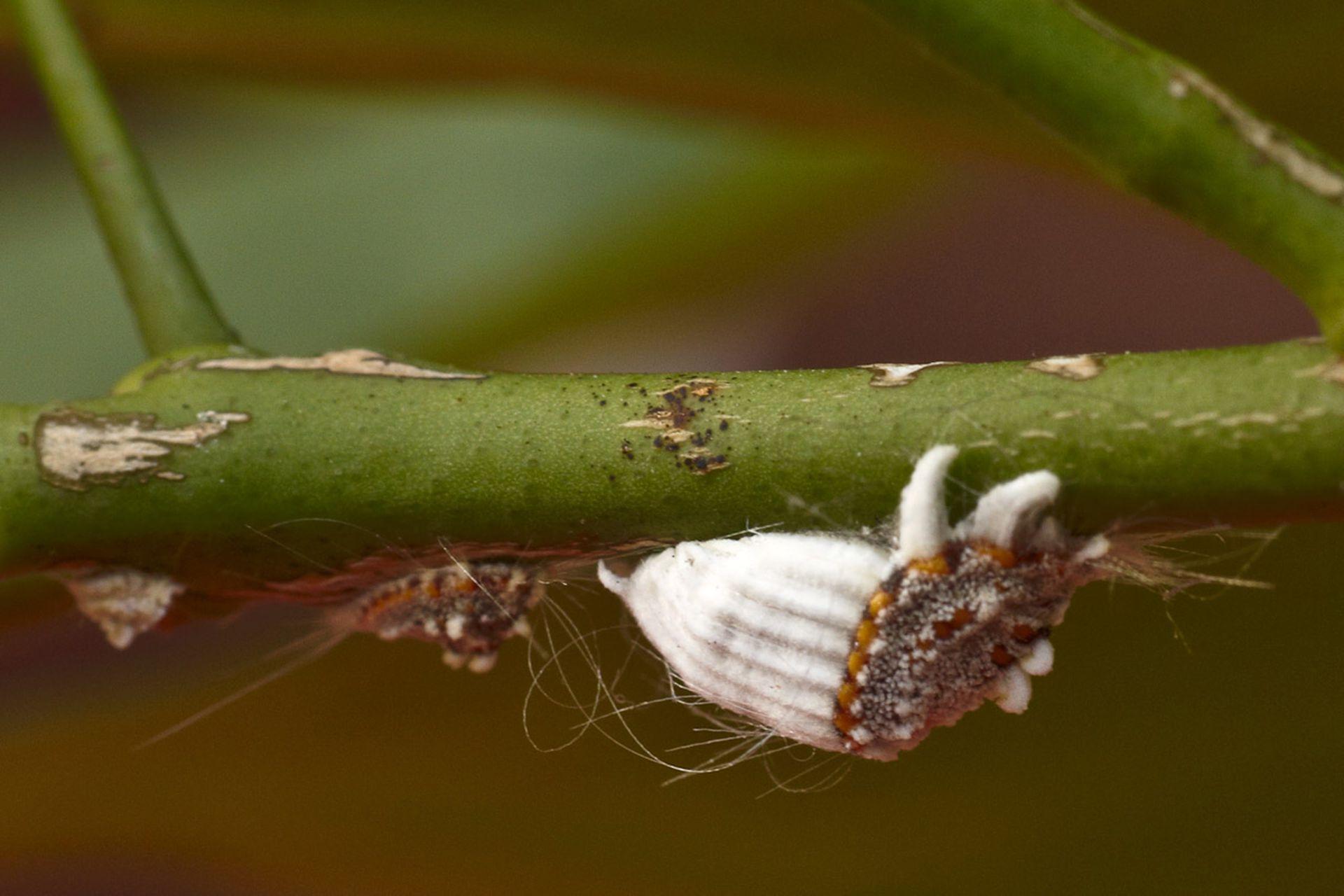 En invierno, la cochinilla acanalada ataca a varias especies de exterior e interior.