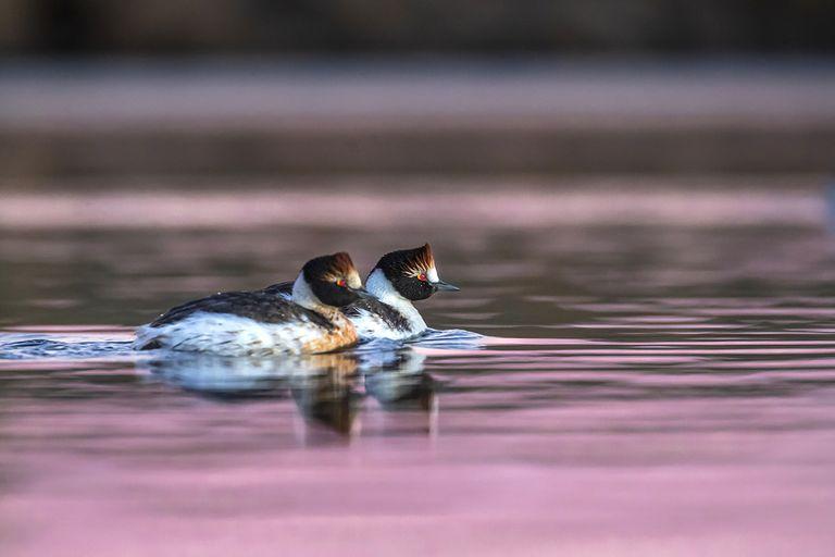 Macá tobiano (Podiceps gallardoi), un ave endémica de la Patagonia Austral
