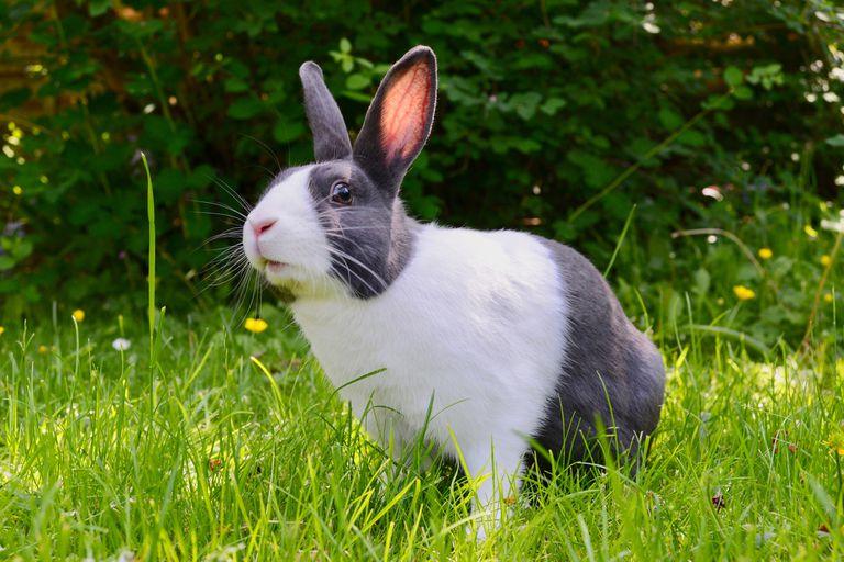 Los conejos son uno de los ánimales típicamente utilizados en testeos de belleza, en especial para ver la irritabilidad de los productos en los ojos