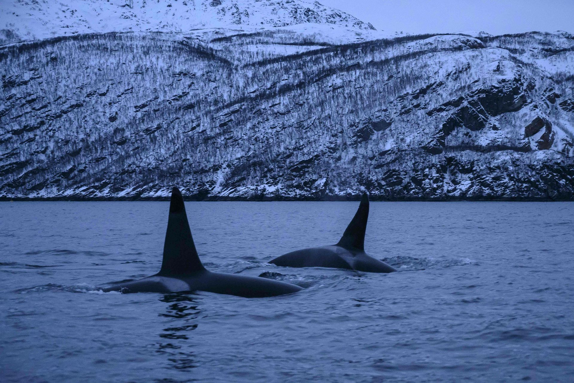Orcas masculinas persiguen arenques el 15 de enero, en el mar de Noruega en el Círculo polar ártico