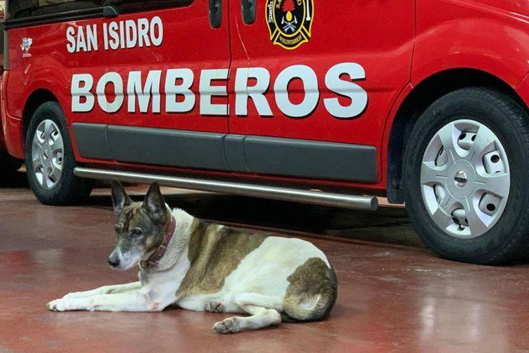 Bombi estaba en el cuarte de bomberos voluntarios de San Isidro, ubicado en Acassuso, desde el año 2003, cuando fue recogida luego de haber sido atropellada