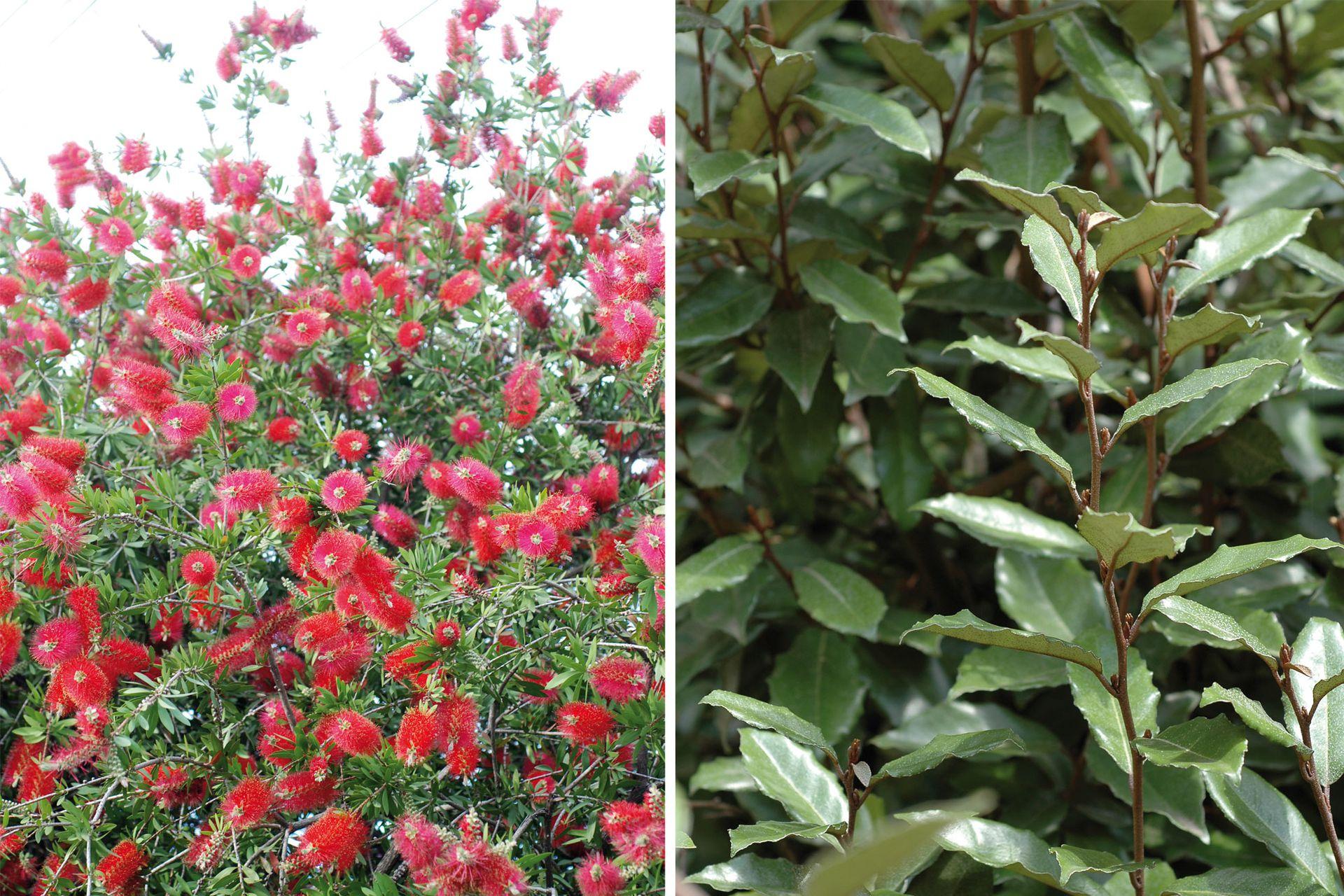 Izquierda: Callistemon citrinus. Derecha: Eleagnus sp.