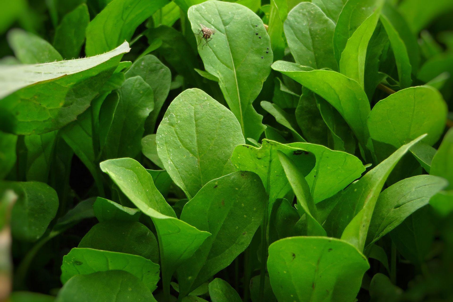 La rúcula puede consumirse fresca, cocida o rehogada.