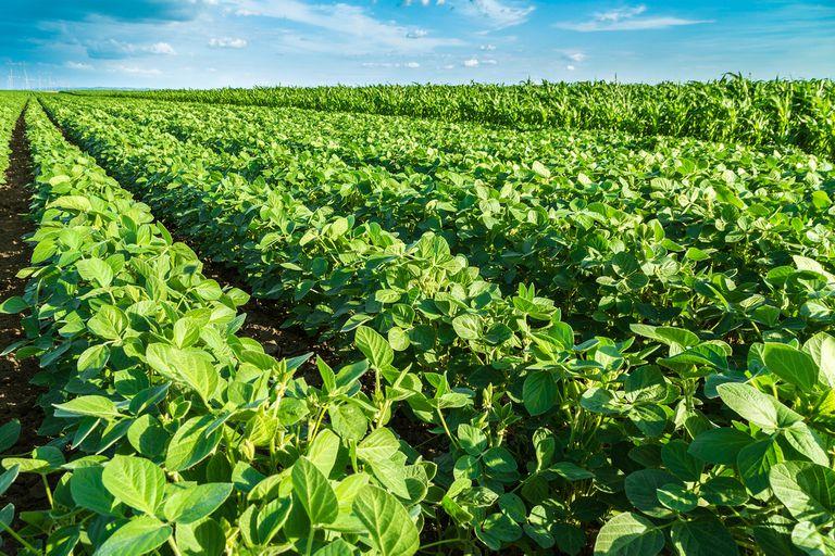 La soja ya había sido aprobada en mayo pasado por Brasil