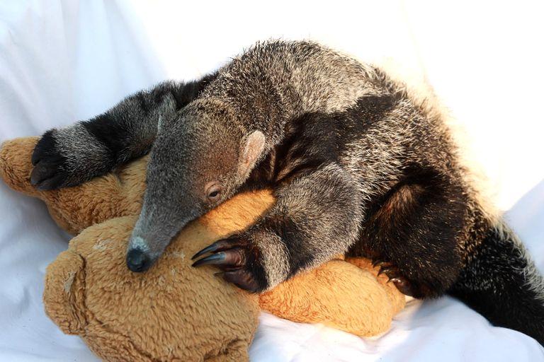 Cómo trabaja el centro que recupera osos hormigueros bebé en Corrientes