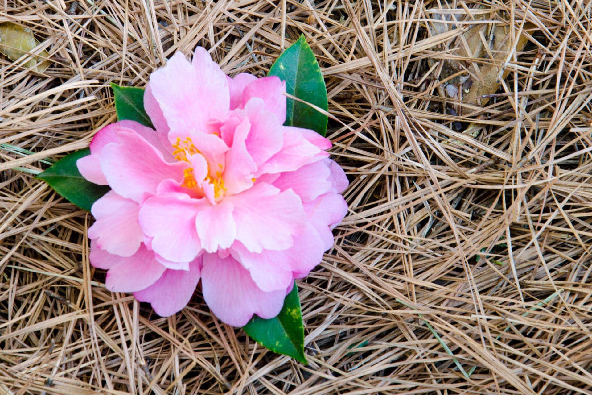 Camellia ´Maggiore´. Es un híbrido de C. japonica obtenida por un cultivador suizo. Es una planta pequeña, achaparrada, muy florífera, ideal para macetas.