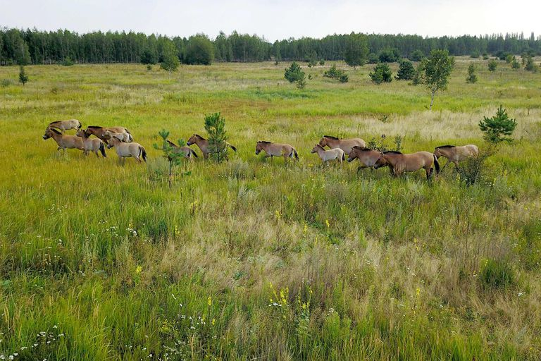 Przewalski's horses run in the Chernobyl zone on August 26, 2017. - They are the Przewalski's horses, an endangered species native to Asia which surprisingly thrives in the area tainted by radiation, after having once disappeared in the wild. (Photo by Aleksndr Sirota / AFP)