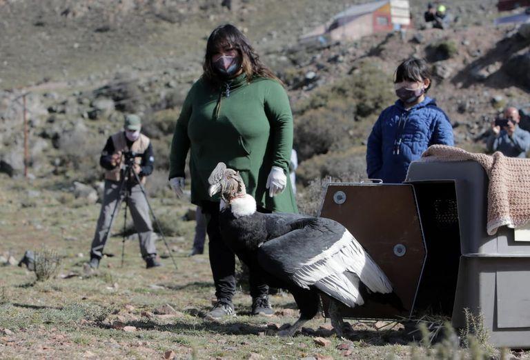 Huarpe, el cóndor andino que recuperó la libertad en el Parque Provincial Cordón del Plata