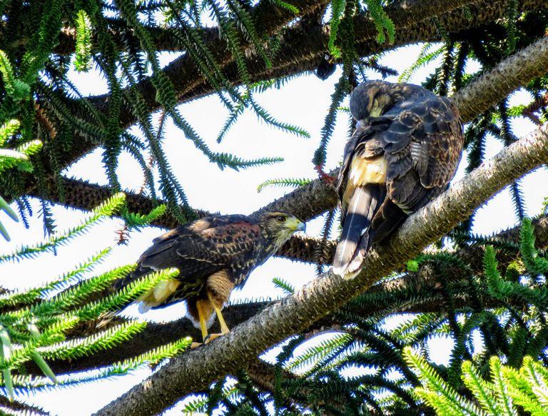 La cuarentena permite observar el movimiento de las aves rapaces. En la capital provincial se realiza un relevamiento y un monitoreo con participación de los vecinos.