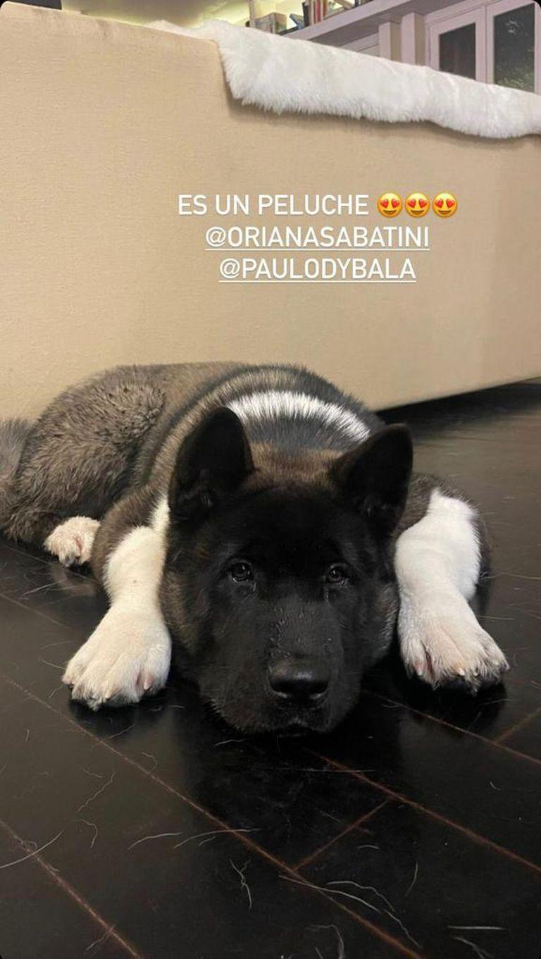 Bowen, el perro de Dybala y Oriana, fotografiado por Eugenia De Martino