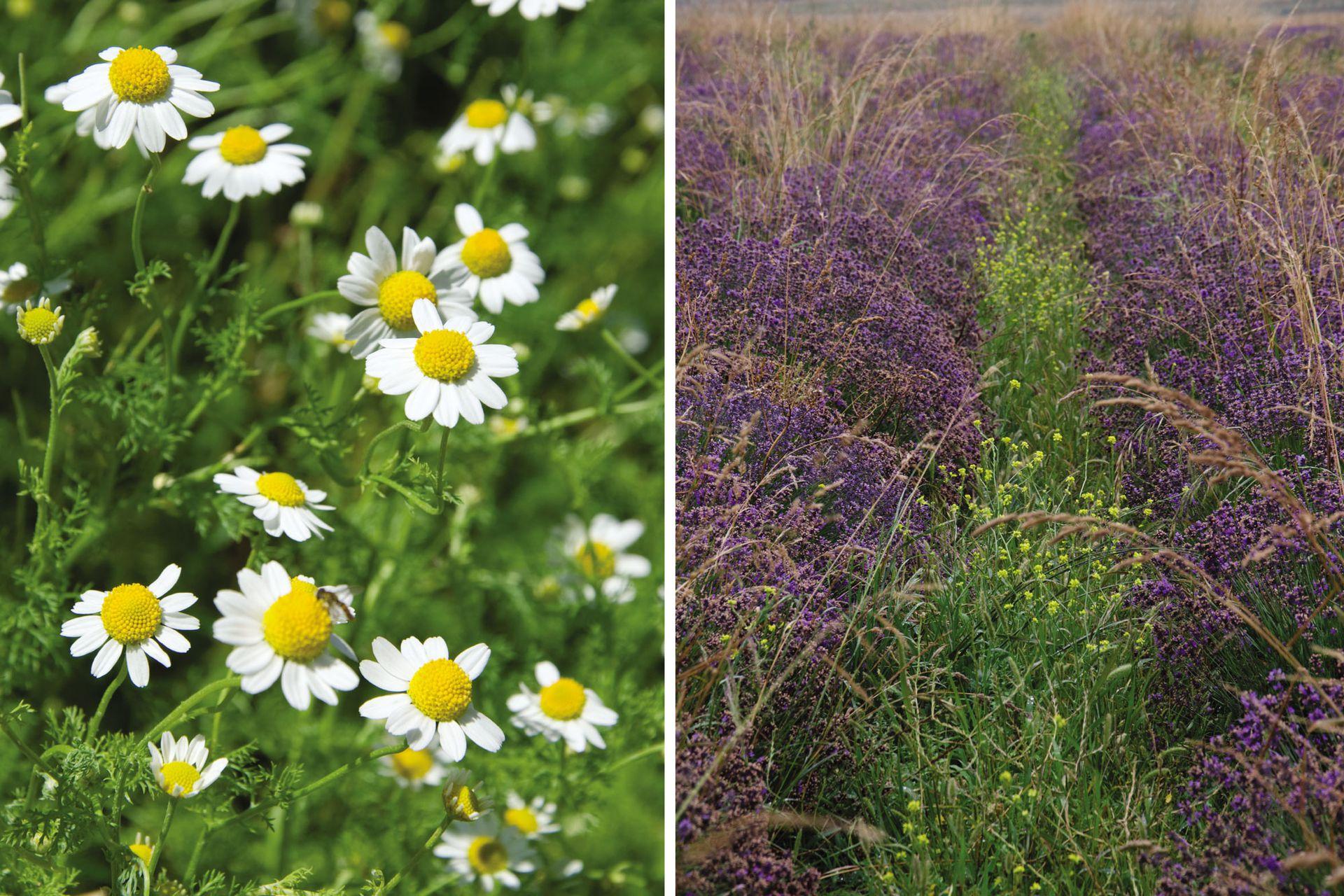Cuando lo que se quiere conservar son las flores, como en caso de la manzanilla o la lavanda, el momento ideal de cosecharlas es cuando acaban de abrir.