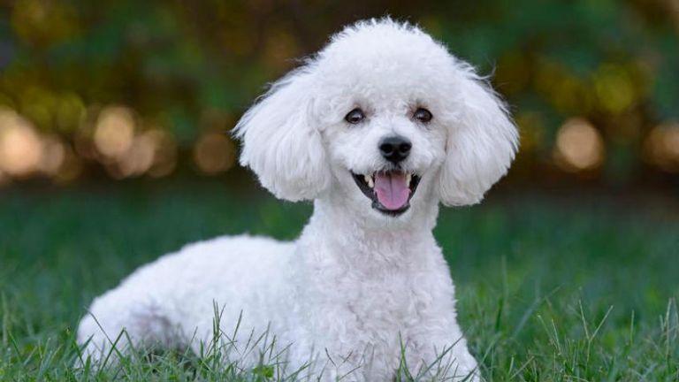 Según las crónicas de la época, el can era un caniche llamado Cachy