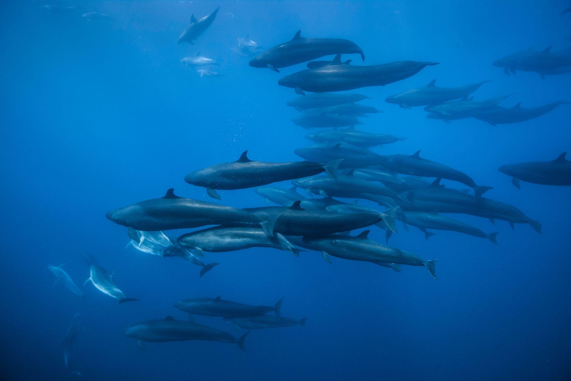 Las falsas ballenas asesinas viajan con una manada de delfines nariz de botella en la costa de la Isla Norte, Nueva Zelanda
