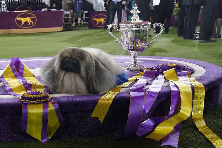 Wasabi: el perro pequinés que conquistó a todos en un prestigioso torneo canino
