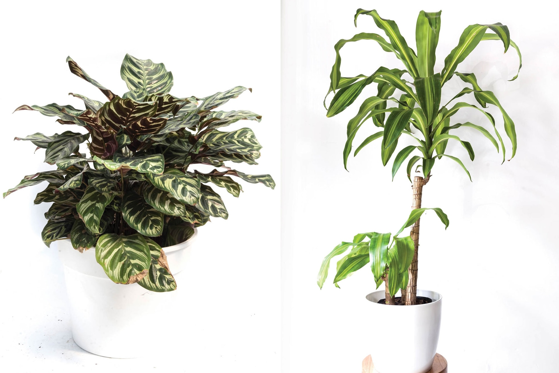 A la izquierda, la delicada Calathea makoyana. Si las puntas de las hojas se ponen marrones, puede ocurrir que el ambiente sea de muy baja humedad. En ese caso, conviene pulverizarlas con agua neutra con gota fina. Las hojas acartuchadas o amarillas son signo de falta de agua en el sustrato. A la izquierda, una Dracaena fragrans o palo de agua: es de los casos en que, después de un tiempo en casa, crece mucho y puede requerir un trasplante a una macetas más grande.