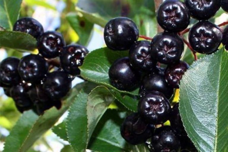 Descubrimiento: las maravillosas propiedades de los frutos patagónicos