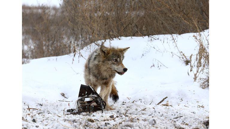 Un lobo atrapado en una trampa