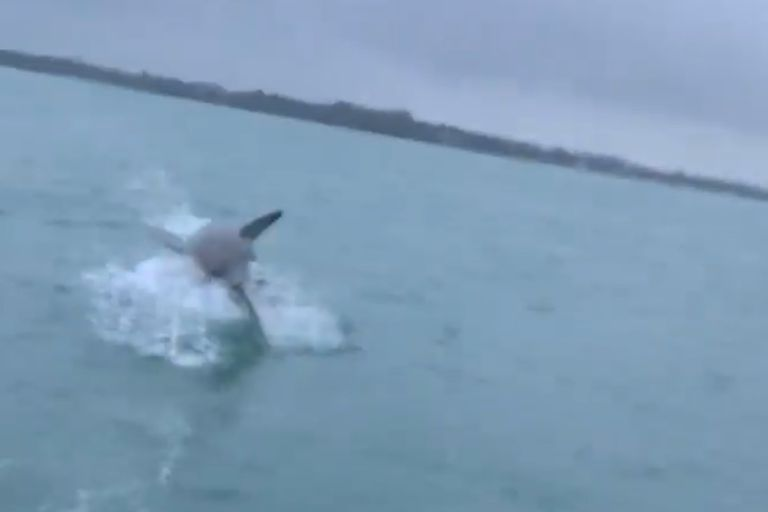 Video: el espectacular salto de un tiburón sobre un barco que grabó un pescador