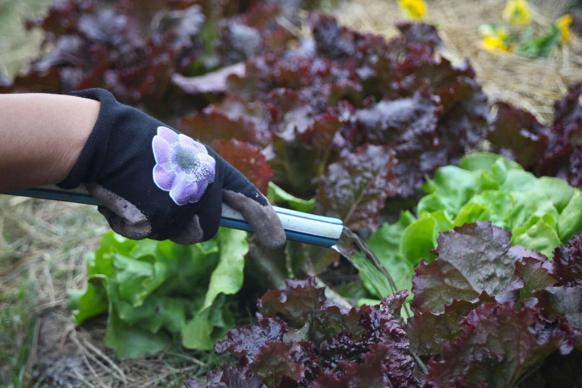 En temporadas de calor, las herbáceas requieren riegos periódicos y profundos. Los canteros que las contienen deben regarse con frecuencia.