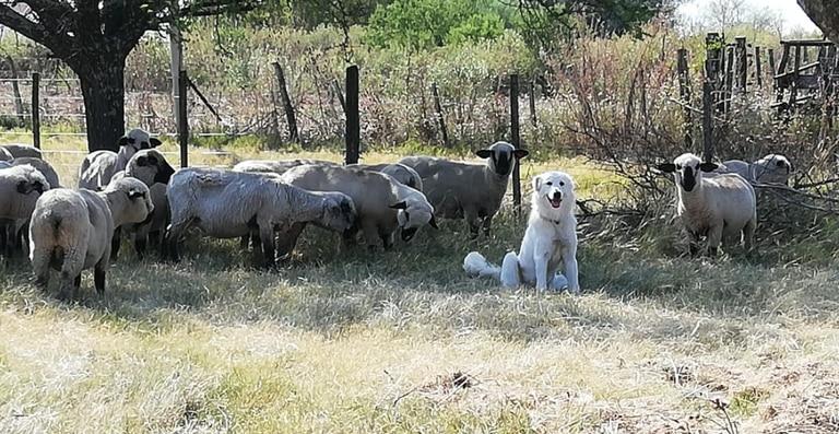 Su perro no regresó al corral con las ovejas y lo encontró haciendo algo sorprendente