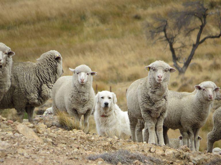 Los perros que cuidan ganado y, a la vez, protegen a felinos silvestres en campos argentinos