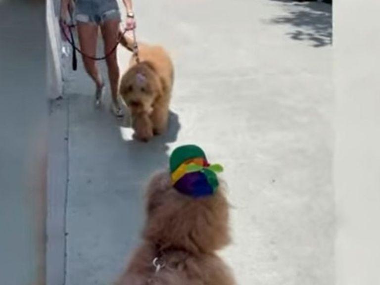 Dos hermanos caninos se reúnen y se reconocen instantáneamente después de un año sin verse