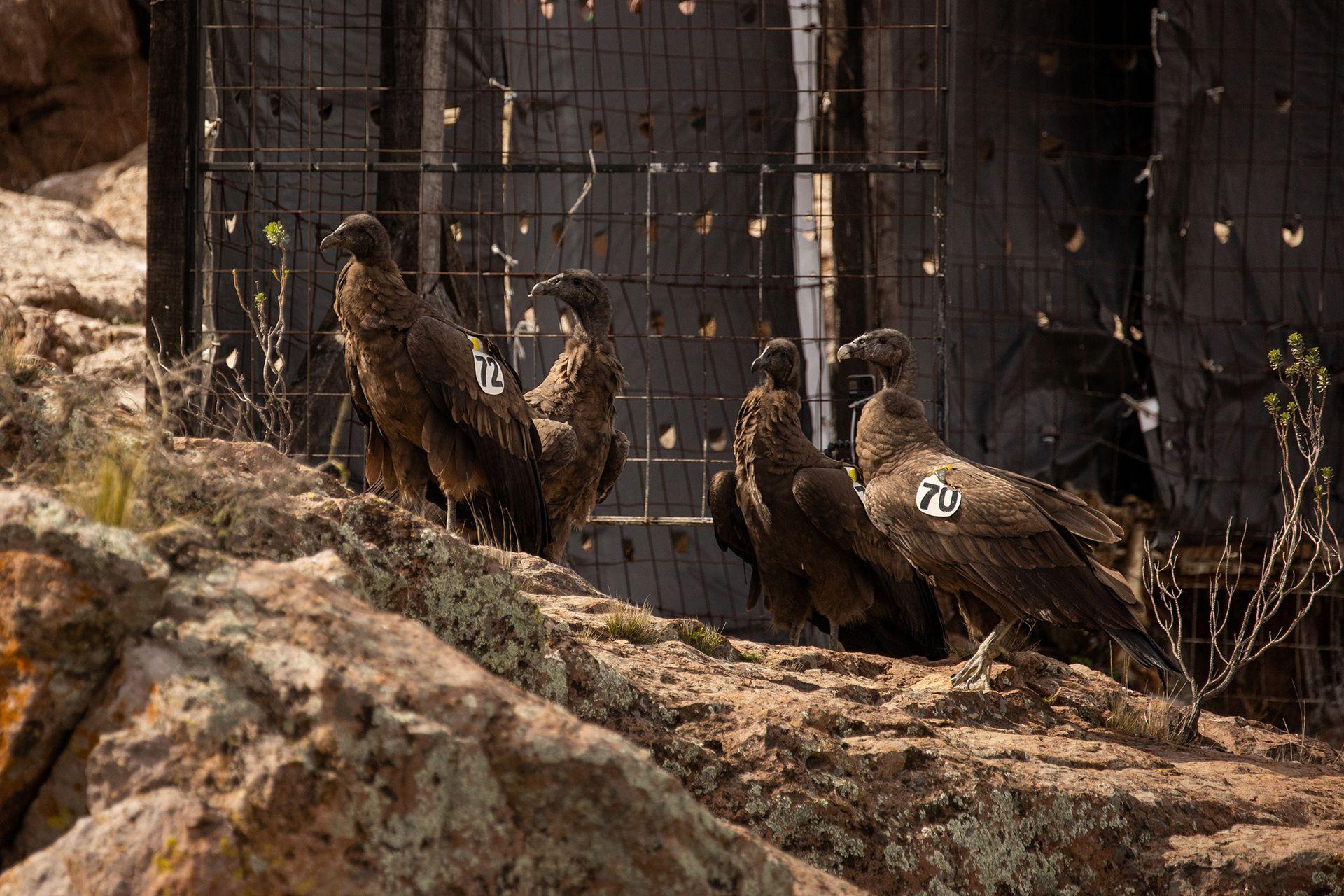 Los cóndores estaban en cautiverio y, luego de un largo proceso de preparación, fueron liberados ayer