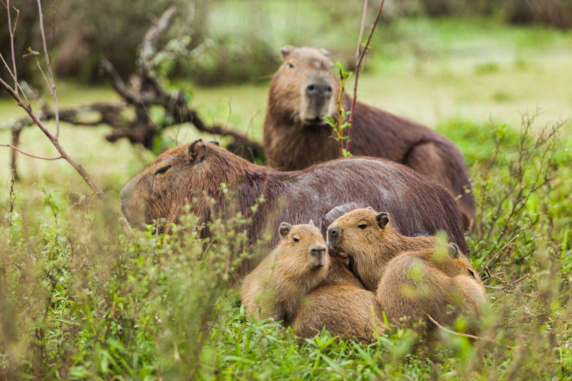 Los carpinchos tienen entre una y ocho crías por parto, generalmente.