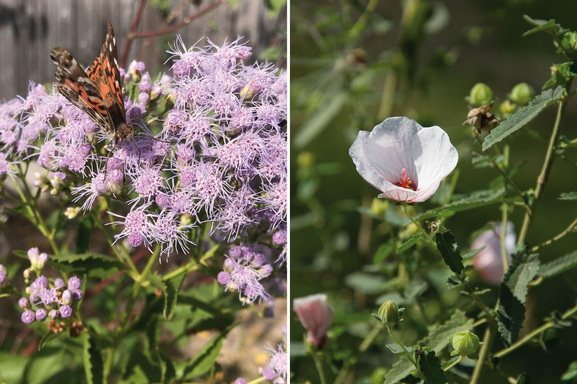 Izquierda: Chromolaena laevigata, un arbusto nativo de follaje semipersistente, puede llegar a superar los 1,8 m de altura. Florece a fines de verano y es visitado por gran variedad de mariposas, abejas y otros insectos polinizadores. Requiere sitios asoleados y suelos húmedos. Es rústico. Derecha: Pavonia hastata, arbusto nativo, de follaje persistente, de 2,5 m de altura. Requiere sitios asoleados y suelos húmedos. Es muy rústico, se adapta a terrenos modificados por urbanizaciones y sequías prolongadas. Genera descendencia en su base por resiembra natural.