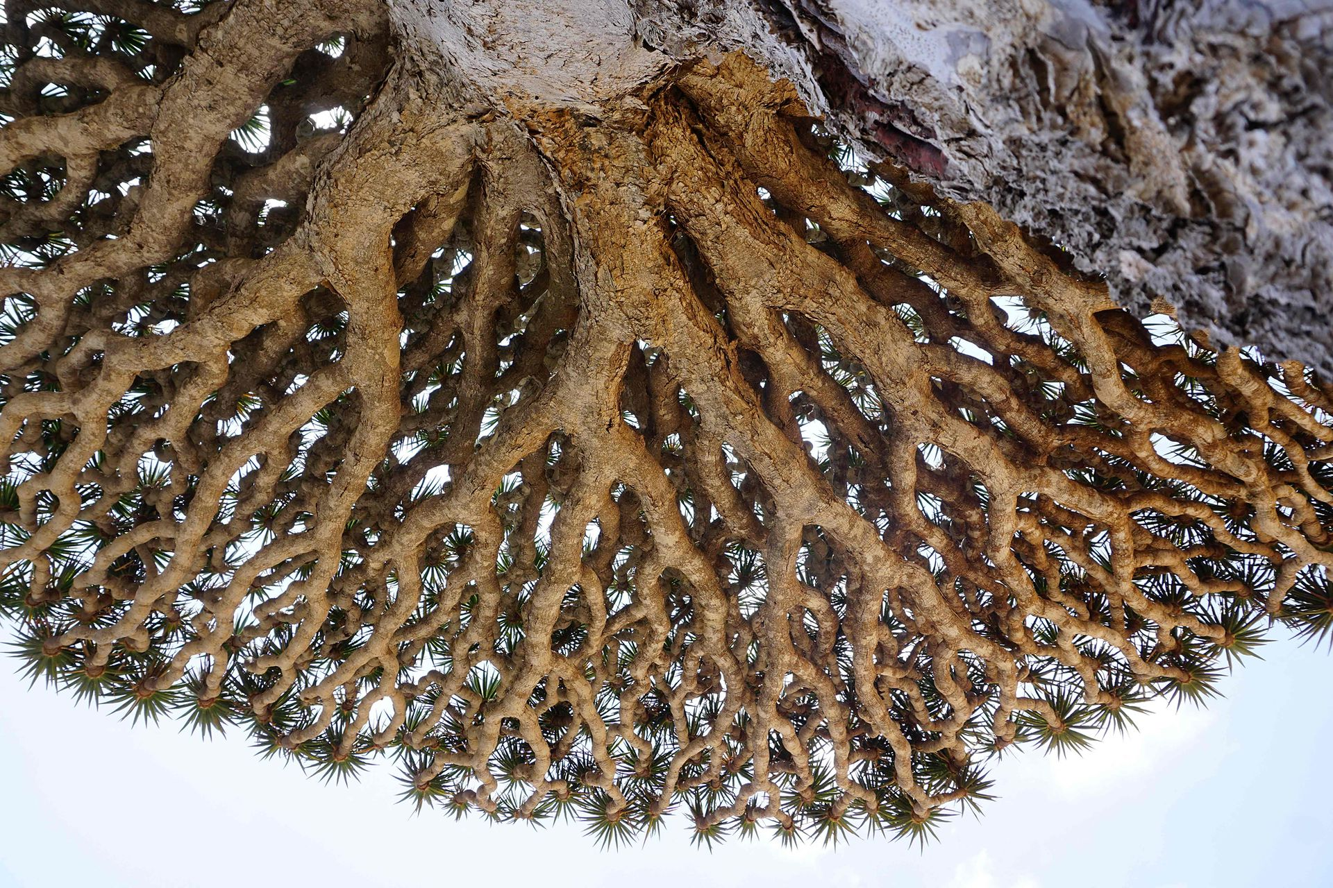 Un árbol de sanfgre de Dagrón visito desde abajo