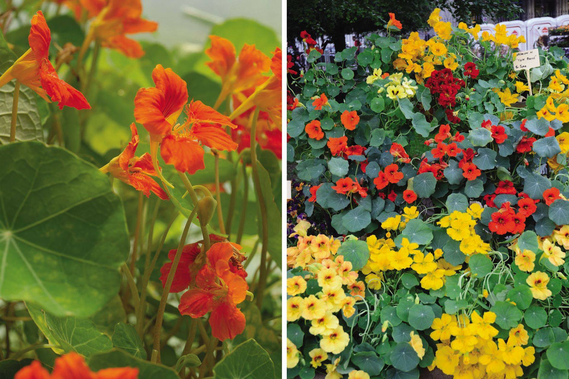 El taco de reina es una planta que crece como tapizante o trepadora. Es ideal para cultivar al pie de los frutales.