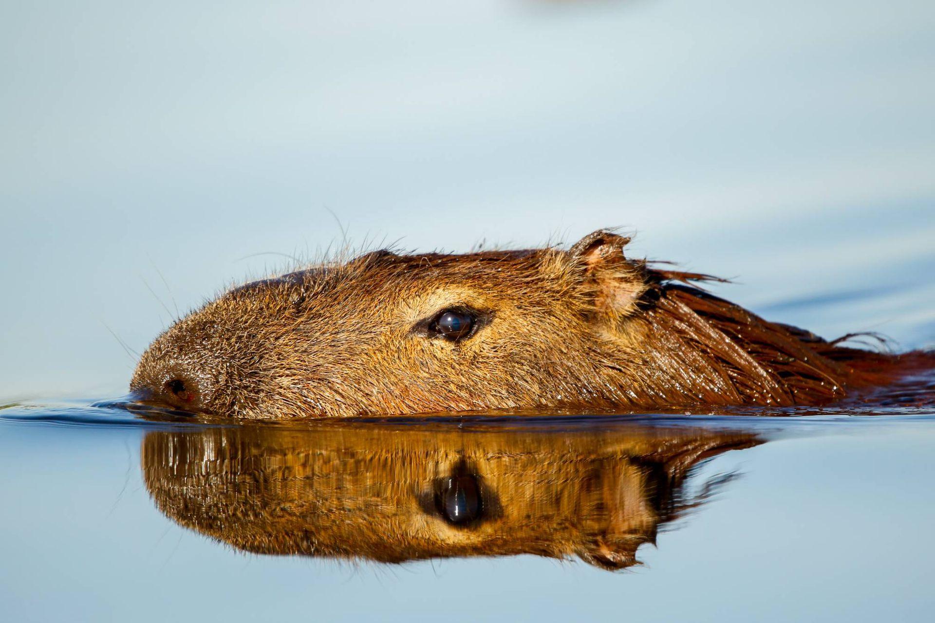 Los carpinchos tienen los ojos, orejas y orificios nasales al mismo nivel, para asomar levemente la cabeza para respirar y ver, mientras se mantienen ocultos en el agua.