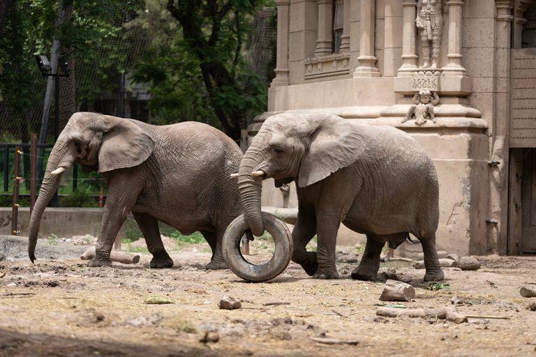 El traslado de las dos elefantas del Ecoparque porteño se posterga por el presupuesto y una prioridad