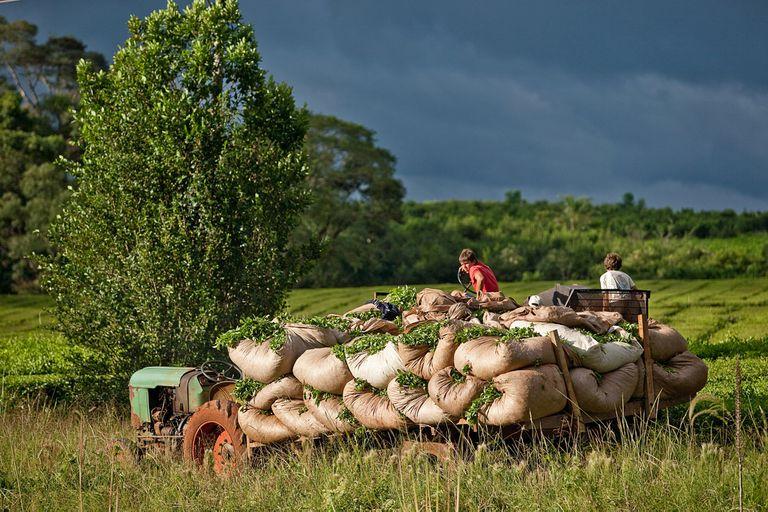 Según datos del INYM de abril, existen 177.500 hectáreas de yerbales