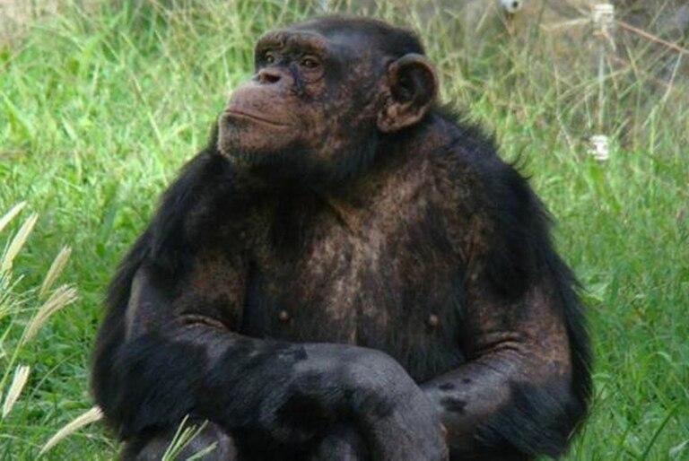 El chimpancé Toti, de un zoológico en Río Negro