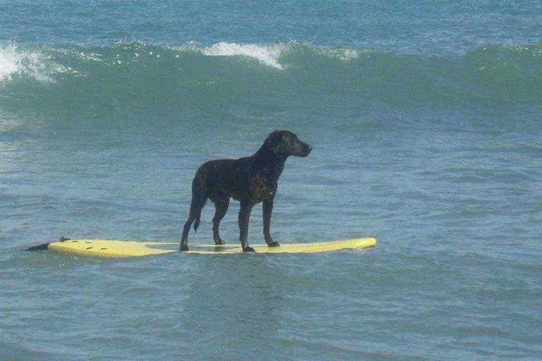 Goro, el perro surfista que es un hit en las playas de Miramar