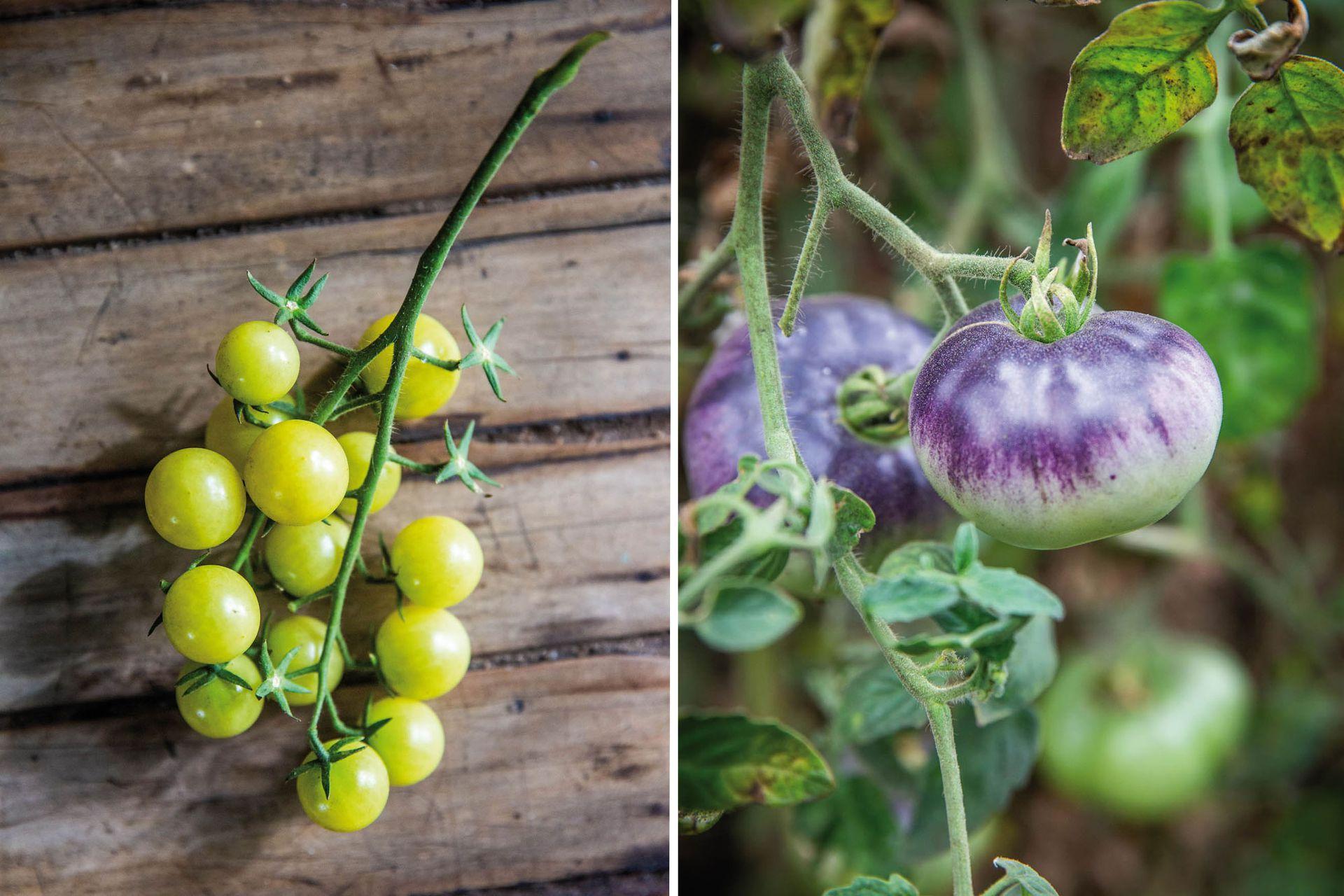 Cherry grosella, dulce y productivo (izquierda). Tomate Negro de Crimea. Esta variedad pasa por este color oscuro para luego virar al rojo al madurar (derecha).