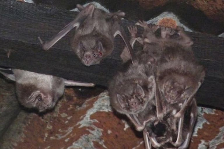 El 10 por ciento de los murciélagos de la provincia de Buenos Aires serían portadores de rabia
