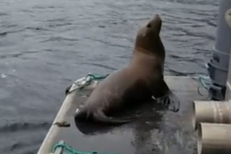 """Una mujer """"echó"""" de su barco a un lobo marino que se subió para evitar que las orcas lo devoren"""