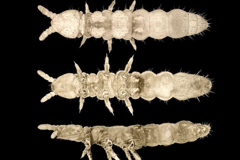 """Descubren un insecto """"fantasma"""" que sobrevivió a 30 edades de hielo"""