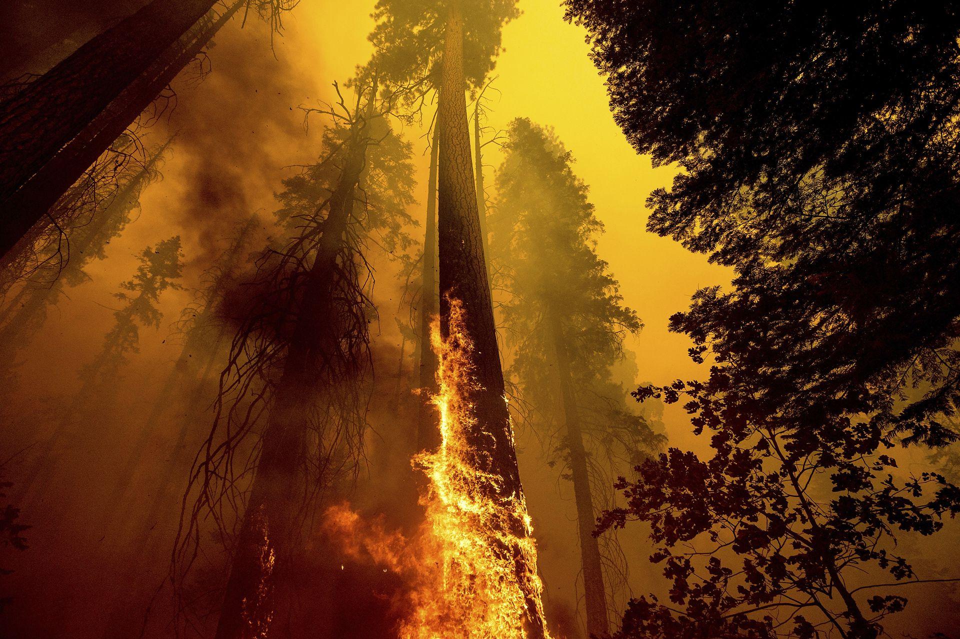 Las llamas alcanzaron un árbol en el Bosque Nacional Sequoia